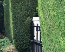 hedgeTrim2